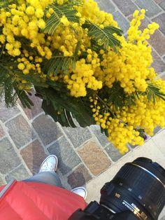 Fête du mimosa  #saintemaxime #riviera #mimosa