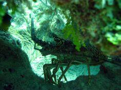 Profile, Florida lobster