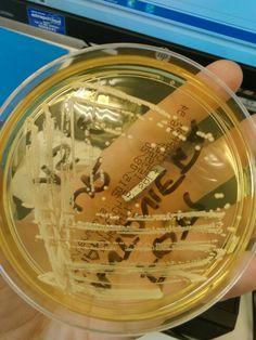 Staphilococcus haemoliticus urinocoltura su chapman (viraggio di colore all'oro, mannitolo fermentante come aureus, ma meno giallo)