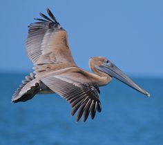 Pelican fly by