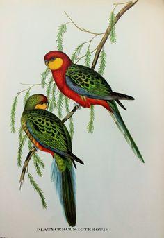 earl of derby parakeet australian tropical bird by paperpopinjay 1500