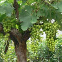 Druif (Vitis vinifera)