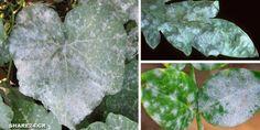 Το ωίδιο των φυτών είναι μία από τις σοβαρότερες μυκητολογικές ασθένειες των κηπευτικών μας. Προσβάλ Better Homes, Agriculture, Garden Landscaping, Plant Leaves, Landscape, Nature, Plants, Gardening, Decoration