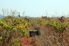 #love #nature #notonlymotorcycles #friends #september #harvest #grapes #savatiano #juicegrapes #wine #tsipouro #raki #homoratus