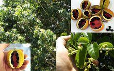 Peanut Tree Sterculia Quadrifida Red Fruited Kurrajong Seeds