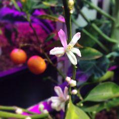 Orange Blossom #aquaponics #aquaponic #hydroponics #aquaculture #food #veggies #fruit #organic
