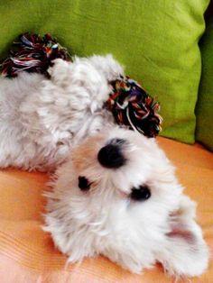 An adorable little westie pup