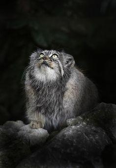 beautiful-wildlife: Pallas CatbySue Demetriou