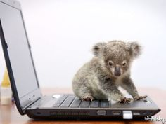 Baby koala!!!! // seriously this would be my wishlist exotic pet.