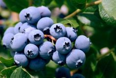 Hydroponic Blueberries