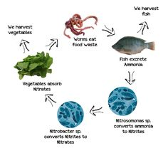 Here is what aquaponics comes down to: a continual cycle of conversion and re-use.  A system where waste is broken down and recycled into something immediately useful. No need for blue bins hauled off by diesel sucking, smoke belching trucks haul off our recyclables. These wastes are processed into something you can use RIGHT NOW in the form of fresh, organic produce for you and your family.