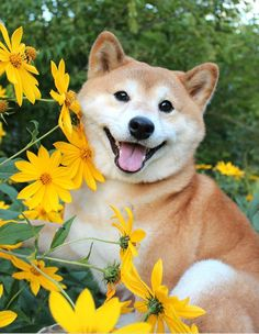 Shiba Inu is a very friendly breed. They love everything around, especially flowers. 15 positive photos of Shiba Inu with flowers are presented here. Cute Baby Animals, Animals And Pets, Funny Animals, Japanese Dogs, Japanese Akita, Akita Dog, Cute Creatures, Happy Dogs, Cute Puppies