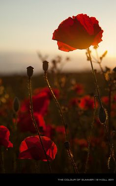 Jayson Jayson McCarthy, poppies at sunset Red Poppies, Red Flowers, Red Roses, Spring Flowers, Sunflowers, Bloom Baby, Photo To Art, California Poppy, Amazing Flowers