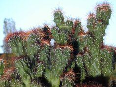 Cereus peruvianus della famiglia delle Cactacee