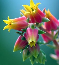 Echeveria Lilies For Any Occasion