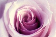 New print available on lanjee-chee.artistwebsites.com! - 'Purple Rose Close Up' by Lanjee Chee - http://lanjee-chee.artistwebsites.com/featured/purple-rose-close-up-lanjee-chee.html