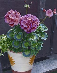 Cheap seeds impatiens, Buy Quality seed bag directly from China seed colour Suppliers: Geranium seed geranium flower Perennial Flower Seeds Pelargonium Peltatum Flowers potted geranium plant bonsai seeds Geranium Plant, Geranium Flower, Flower Seeds, Flower Pots, Amazing Flowers, Beautiful Flowers, Beautiful Pictures, Planting Succulents, Planting Flowers
