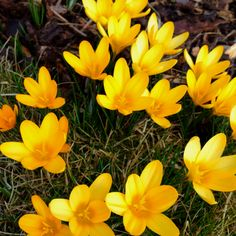 Crocus. Want to plant this year.