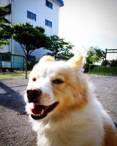 強風と遊ぶ。 ワ~レ~ワ~レ~ ハ~ ウ~チュウ~ケ~ン ダ~   #dog #inu #犬 #犬の麩
