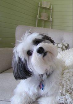 'What's that you say?' - Lhasa Apso Dog