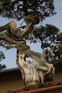 "Bonsai… 真柏 寿雲 Shimpaku ""Juun"" (Japanese Juniper) - 盆栽美術館 - bonsai museum | Flickr: Intercambio de fotos"