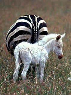 zebron albinos