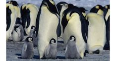 Stunning, loving documentary; some intense peril. Read Common Sense Media's March of the Penguins review, age rating, and parents guide.