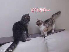 鋭い目つきでにらみ合う2匹の子猫。次の瞬間、右の子猫にハプニングが起こります。動画をご覧ください。[この記事のすべての動画・画像を見る](4) When you try to fight but your arms are too short - YouTubeじりじりと距離を詰めていき……。2匹同時に攻撃を繰り出した!……が、足の短いマンチカンは攻撃が届きません。「ぐぬぬ……」あきらめずに猫パン