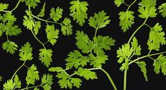 Parsley from A to Z: 26 Things you didn't know about #parsley - http://finedininglovers.com/stories/parsley-facts-figures/