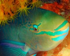 Parrot Fish..( Rainbow) Most beautiful fish.swam with them in the Keys.