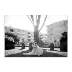 https://flic.kr/p/Ctfg6A | Mayu December 2015  #cat #photograph #blackandwhitephotography
