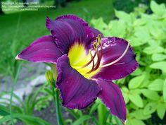 purple daylily - Hemerocallis 'Bela Lugosi'