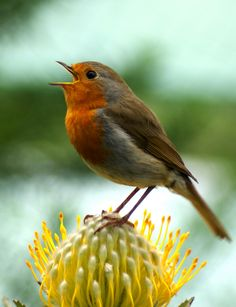 Singing Robin (by VictoriaAnn:))