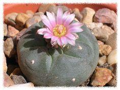 Esta mammillaria gracilis ha sido el primer cactus en florecer, abrió su primera flor hace unos días...    Este pequeño peyote ha sido el s...
