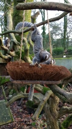 Marmoset monkey enrichment, broken broom heads with their bugs put between the bristles