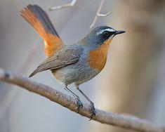 Cape Robin Chat from South Africa Cute Birds, Pretty Birds, Beautiful Birds, Exotic Birds, Colorful Birds, South African Birds, Garden Birds, Robin Bird, Bird Gif