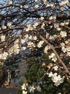 Tidligblomstrende tre med nydelige hvite små blomster  Vår 2014 - Min hage