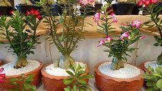 8 Flores que Gostam de Sol Direto e Pouca Água para Vaso!