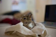 A tiny, brown rabbit wrapped up in a towel.