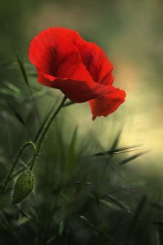 flowersgardenlove: **red poppy Beautiful