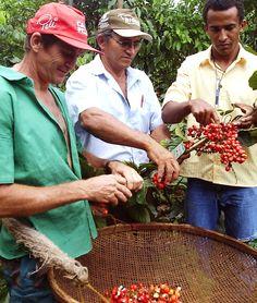 Mitglieder unserer Partnerkooperative. Das Guarana ist ausgehölt, geschält, das Fruchtfleisch entfernt und gemahlen. Der minimale Koffeininhalt ist 3,8%, maximal sind es 10%. #Guarana #fairtrade