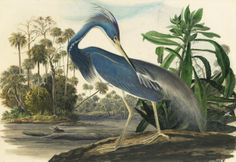 Audubon's Original Watercolors on Display at the New York Historical Society | Audubon Magazine