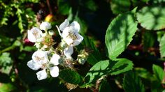 Photo of the Week - Blackberry Blooms