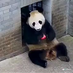 Compilation of cute Pandas Cute Funny Animals, Cute Baby Animals, Animals And Pets, Baby Pandas, Wild Animals, Panda Gif, Panda Funny, Panda Love, Cute Panda