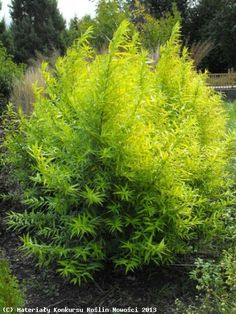 Willow 'Golden Sunshine'. Salix udensis. 20' tall.