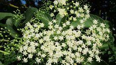 Zkusili jste osmažit květy černého bezu jako řízek? Je to… | iReceptář.cz Planting Flowers, Herbs, Green, Sweets, Outdoors, Tattoo, Google, Herb Plants, Medicinal Plants