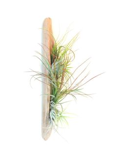 Air Plants on Driftwood Vertical Garden or Table Top by Plantzilla, $49.00