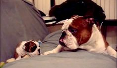 English Bulldog Daddy Meets His Daughter For The First Time - Animal Stories