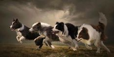 Border Collie Friends Having Some Fun Running Together.