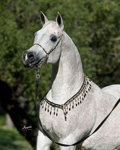 U Liteupmy Life (Thee Desperado x Wanisa), 1995 Grey Mare - A beautiful lightly-colored Arabian horse!